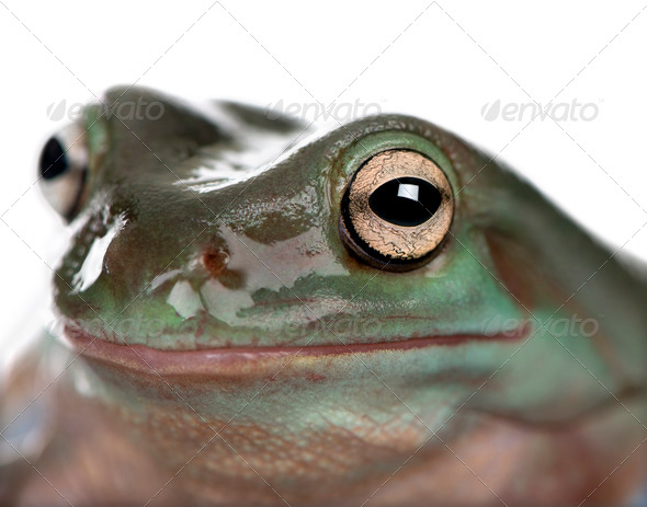 Close-up of Australian Green Tree Frog, Litoria caerulea, studio shot - Stock Photo - Images