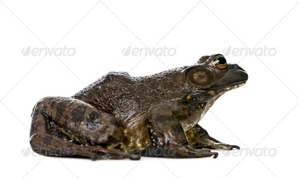 Side view of Bullfrog, Rana catesbeiana, against white background, studio shot - Stock Photo - Images