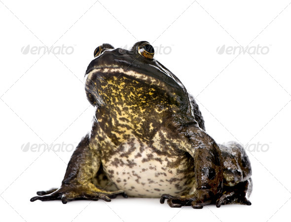 Bullfrog, Rana catesbeiana, against white background, studio shot - Stock Photo - Images