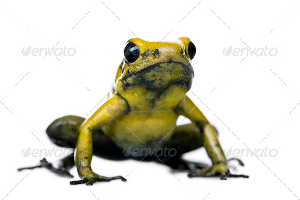 Golden Poison Frog, Phyllobates terribilis, against white background, studio shot - Stock Photo - Images