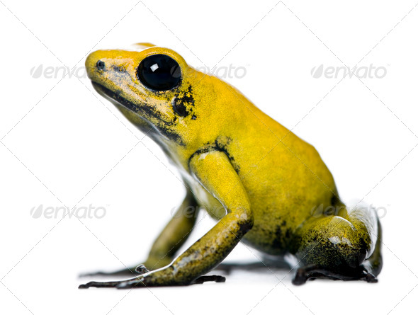 Side view of Golden Poison Frog, Phyllobates terribilis, against white background, studio shot - Stock Photo - Images