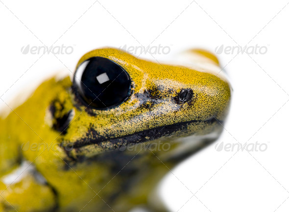 Close-up of Golden Poison Frog, Phyllobates terribilis, against white background, studio shot - Stock Photo - Images