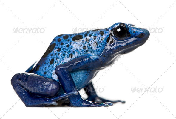 Side view of Blue Poison Dart frog, Dendrobates azureus, against white background, studio shot - Stock Photo - Images