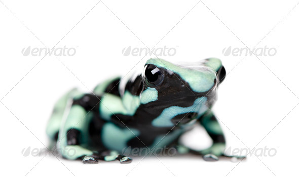 Green and Black Poison Dart Frog, Dendrobates auratus, against white background, studio shot - Stock Photo - Images