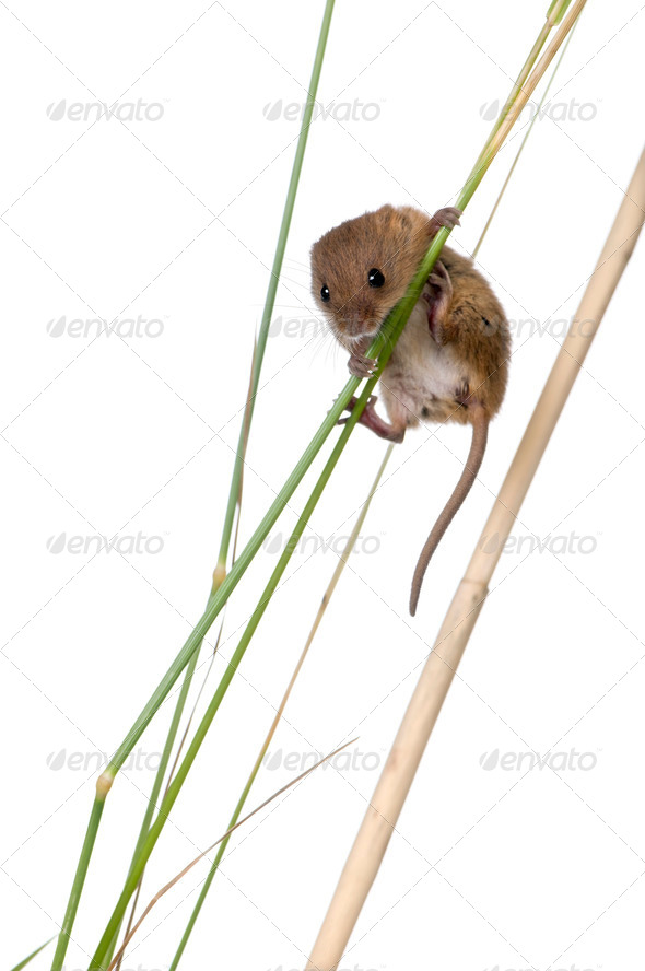 Harvest Mouse, Micromys minutus, climbing on blade of grass, studio shot - Stock Photo - Images
