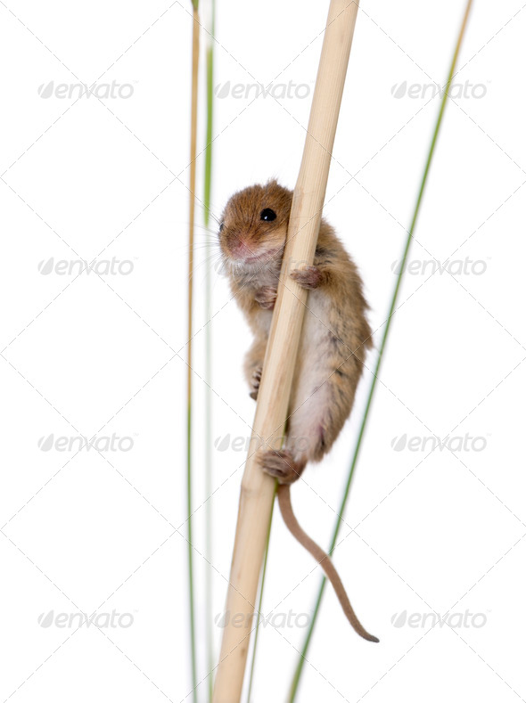 Harvest Mouse, Micromys minutus is a small rodent - Stock Photo - Images