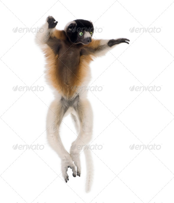 Young Crowned Sifaka, Propithecus Coronatus, 1 year old, dancing, studio shot - Stock Photo - Images