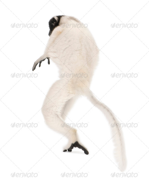 Young Crowned Sifaka, Propithecus Coronatus, 1 year old, walking, studio shot - Stock Photo - Images