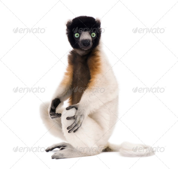 Young Crowned Sifaka, Propithecus Coronatus, 1 year old, sitting, studio shot - Stock Photo - Images
