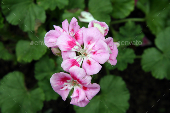 Pink Flowers - Hong Kong Park, Hong Kong - Stock Photo - Images