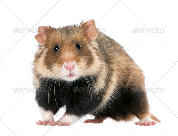 European Hamster, Cricetus cricetus, also known as the Black-bellied Hamster - Stock Photo - Images