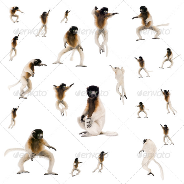 Collage of Young Crowned Sifaka, Propithecus Coronatus, studio shot - Stock Photo - Images