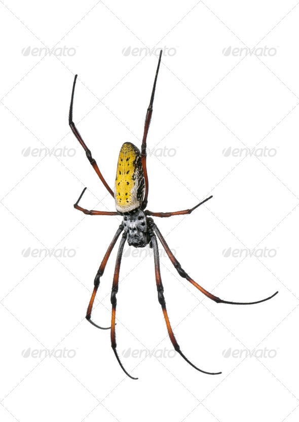 golden orb-web spider - Nephila inaurata madagascariensis - Stock Photo - Images