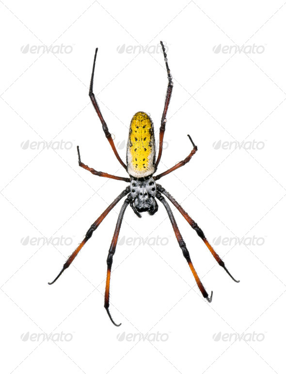 Golden Orb-web spider, Nephila inaurata madagascariensis, against white background - Stock Photo - Images