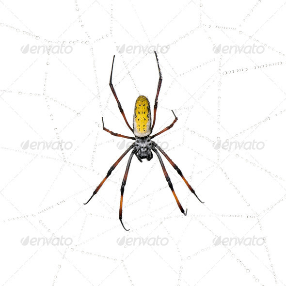 Golden Orb-web spider in spider web, Nephila inaurata madagascariensis, against white background - Stock Photo - Images