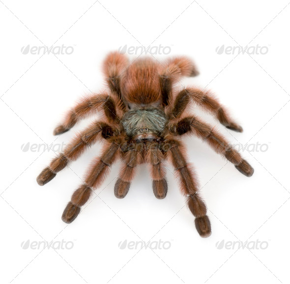 Antilles pinktoe tarantula, Avicularia metallica, against white background, studio shot - Stock Photo - Images
