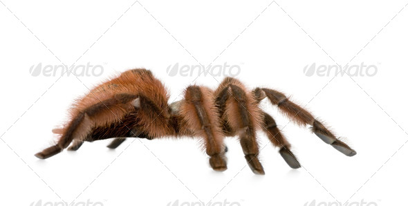 Antilles pinktoe tarantula - Avicularia metallica - Stock Photo - Images