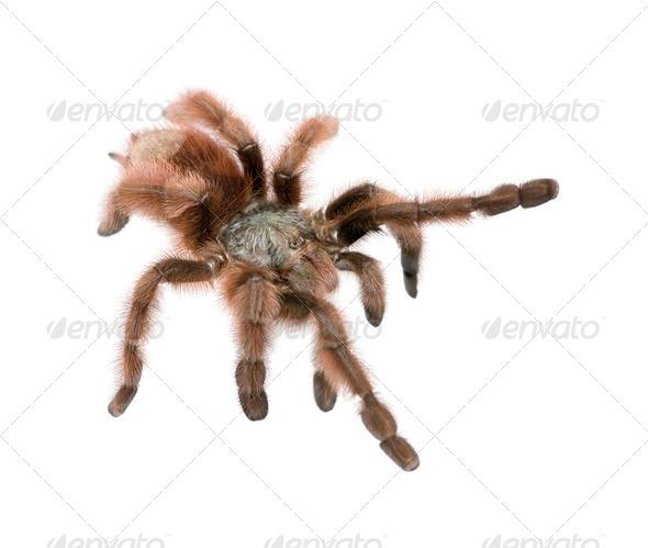 Antilles pinktoe tarantula - Avicularia metallica - Stock Photo - Images
