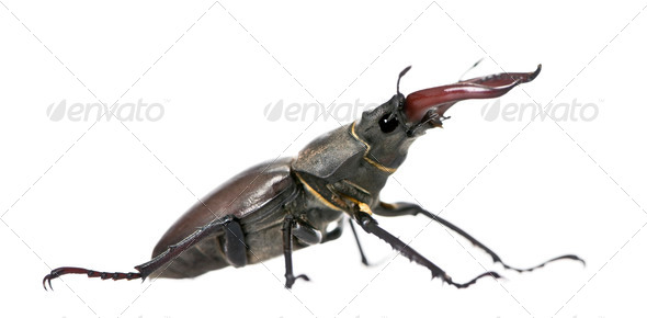 Side view of Male European Stag beetle, Lucanus cervus, against white background, studio shot - Stock Photo - Images