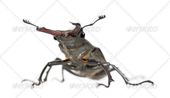 Male European Stag beetle, Lucanus cervus, against white background, studio shot - Stock Photo - Images