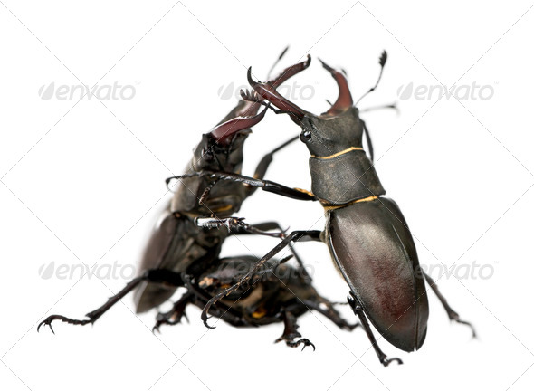 Male European Stag beetles fighting, Lucanus cervus, against white background, studio shot - Stock Photo - Images