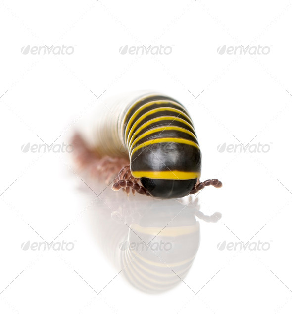 Black and yellow Millipede from Guyane against white background, studio shot - Stock Photo - Images
