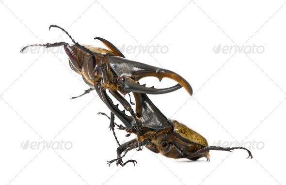 Male adulte Hercules beetles fighting, Dynastes hercules, against white background, studio shot - Stock Photo - Images