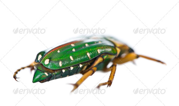 East Africa flower beetle, Stephanorrhina guttata, in front of white background, studio shot - Stock Photo - Images