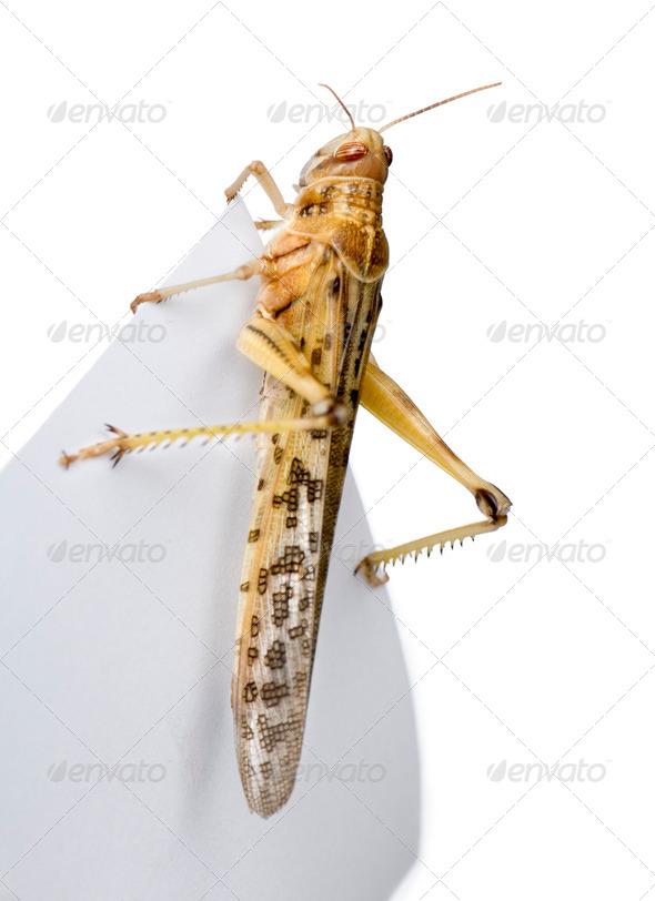 Desert Locust on piece of paper, Schistocerca gregaria, studio shot - Stock Photo - Images