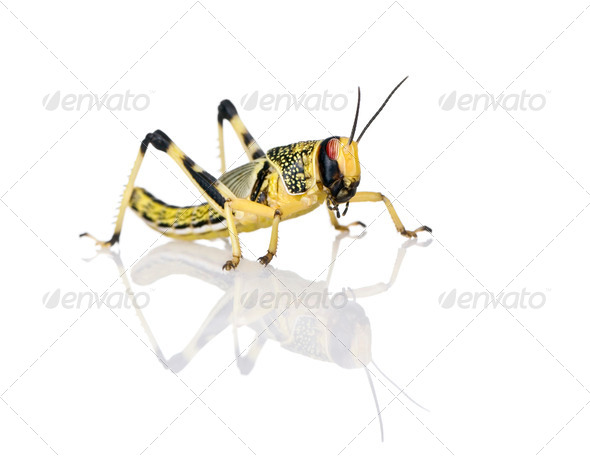 Larva of Desert Locust, Schistocerca gregaria, standing against white background, studio shot - Stock Photo - Images
