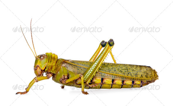 Side view Giant guianas locust, Tropidacris collaris, against white background, studio shot - Stock Photo - Images