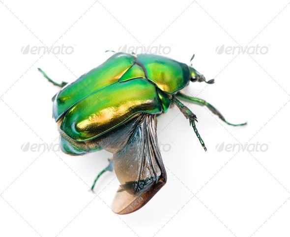 Green flower beetle, Cetonischema aeruginosa, against white background, studio shot - Stock Photo - Images