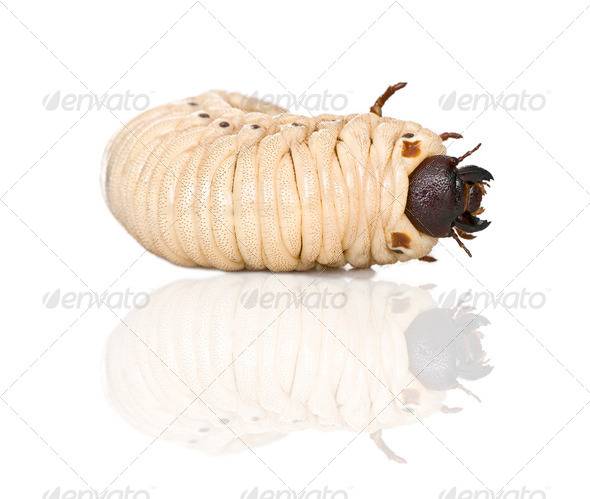 Larva of a Hercules beetle, Dynastes hercules, against white background, studio shot - Stock Photo - Images