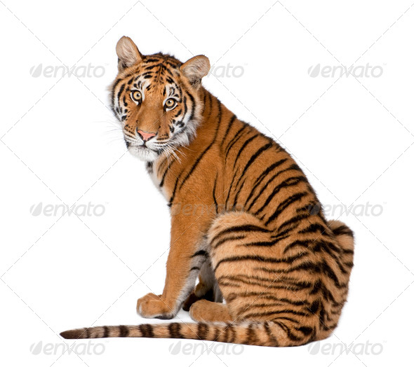 Portrait of Bengal Tiger, 1 year old, sitting, studio shot, Panthera tigris tigris - Stock Photo - Images