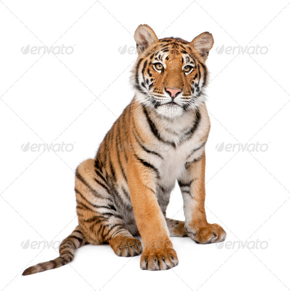Portrait of Bengal Tiger, 1 year old, sitting, studio shot, Panthera tigris tigris - Stock Photo - Images