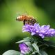 Bee in purple flower - PhotoDune Item for Sale