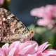 Painted lady butterfly in garden - PhotoDune Item for Sale