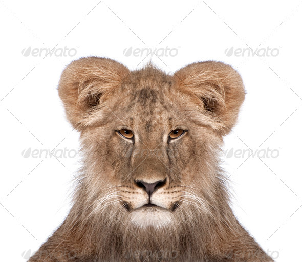 Portrait of immature lion in front of white background, studio shot - Stock Photo - Images