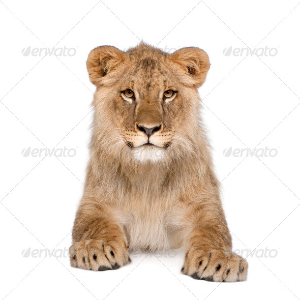 Portrait of lion cub, Panthera leo, 8 months old, sitting in front of white background, studio shot - Stock Photo - Images