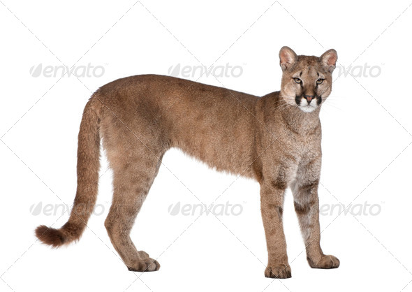 Portrait of Puma cub, Puma concolor, 1 year old, standing, studio shot - Stock Photo - Images