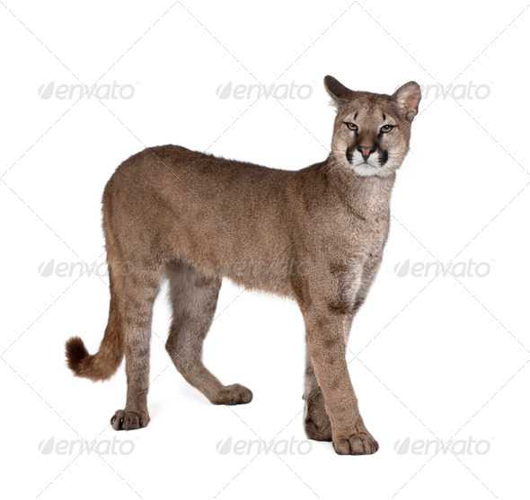 Portrait of Puma cub, Puma concolor, 1 year old, standing in front of white background - Stock Photo - Images