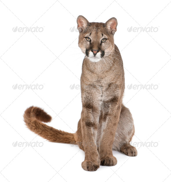 Portrait of Puma cub, Puma concolor, 1 year old, sitting, studio shot - Stock Photo - Images