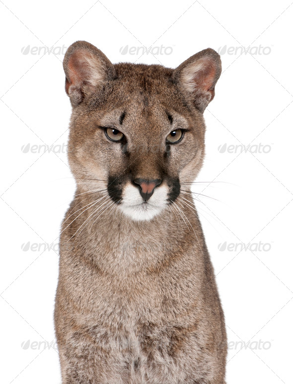 Puma cub - Puma concolor (1 year old) - Stock Photo - Images