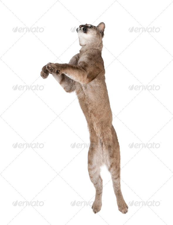 Puma cub - Puma concolor (1 year old) - Stock Photo - Images