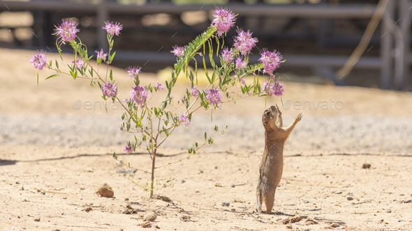 Prairie Dog Stands Tall Hind Legs Reaching for Wildflower - Stock Photo - Images