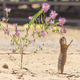 Prairie Dog Stands Tall Hind Legs Reaching for Wildflower - PhotoDune Item for Sale