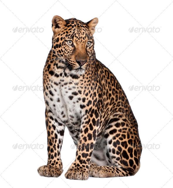 Portrait of leopard, Panthera pardus, sitting, studio shot - Stock Photo - Images