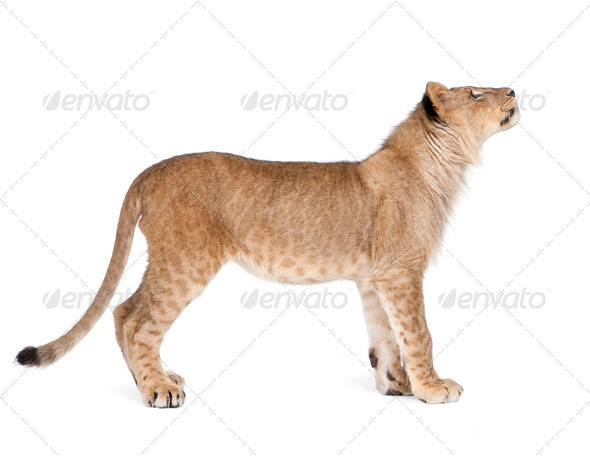 Side view of Lion cub, 8 months old, standing, studio shot - Stock Photo - Images