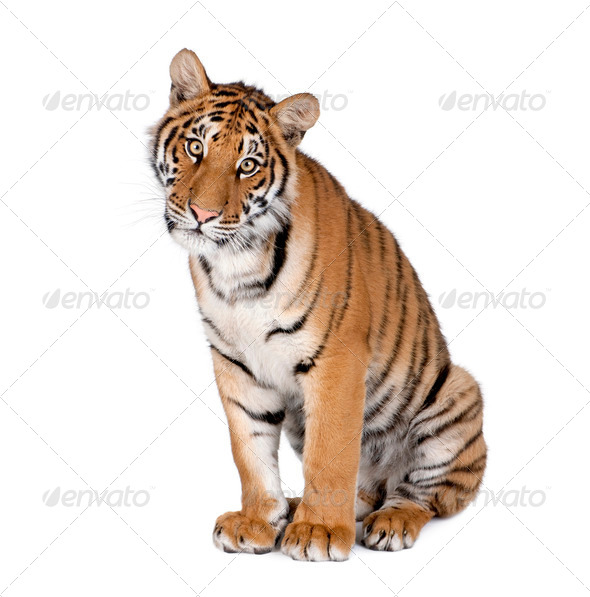 Bengal tiger 1 year old - Stock Photo - Images