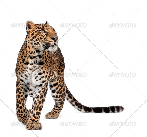 Leopard, Panthera pardus, walking and looking up against white background, studio shot - Stock Photo - Images